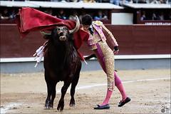 2016-05-29-3 (Manon71) Tags: bulls toros bullfight tauromaquia toreros lasventas tauromachie vctorbarrio sanisidro2016 29demayode2016
