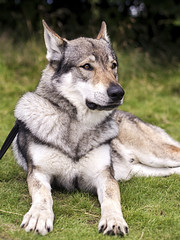 Walking with Wolves (Dell's Pics) Tags: walking wolves experience predatorexperiencecouk maska kajika predator outdoor animal