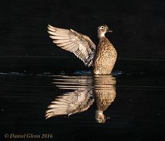 Wood Duck - Goddess of Victory (danielusescanon) Tags: lowkey woodduck female aixsponsa flapping birdperfect animalplanet wild buddyattickpark maryland