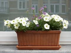 White petunias (seikinsou) Tags: brussels belgium bruxelles belgique summer window flowerpot flower reflection petunia white purple