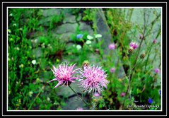 Kwiaty polne (Renata_Lipiska) Tags: flower kwiat flowers kwiatypolne fieldflowers ka meadow grassland outdoor
