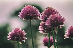 RetroNature (BigWhitePelican) Tags: finland flowers nature purple canoneos70d adobelightroom6 2016 june colorefexpro4