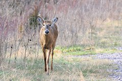 2016 White-tail Buck 2 (DrLensCap) Tags: county white chicago robert animal forest mammal spur illinois woods district tail cook trails il trail rails to buck preserve kramer weber preserves whitetail labagh