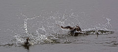 Long-tailed Ducks chasing - water, water everywhere. (E P Rogers) Tags: longtailedduck clangulahyemalis wildfowl duck arctic usa alaska water splash chase