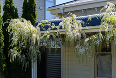 Just a Touch of Blue (Jocey K) Tags: newzealand spring bankspeninsula akaroa window flowers trees building architecture wisteria