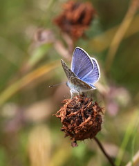 """""""Polyommatus icarus"""" - Icarusblauwtje (bugman11) Tags: icarusblauwtje butterfly butterflies bug bugs bokeh blue insect insects fauna animal animals nature canon 100mm28lmacro nederland thenetherlands macro thegalaxy platinumheartaward"""