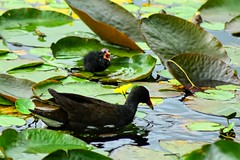 The Chick Pad (richardsolway) Tags: chick bird baby mother water lilly nature birds black