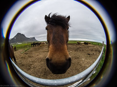 Bad Hair Day (katrin glaesmann) Tags: island iceland unterwegsmiticelandtours photographyholidaywithicelandtours snfellsnes islandpferd horse animal icelandichorse slenskihesturinn cff circularfisheyefun lensbaby