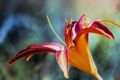 sImPatica fLOr (jacinto_udi) Tags: flor flores campo jardim garden flower eos 70d canon 18135 mm close ups brasil saveearth