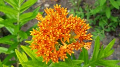 Butterfly weed (Lorianne DiSabato) Tags: plant flower river ma massachusetts wildflower housatonic butterflyweed housatonicriver greatbarrington housatonicriverwalk