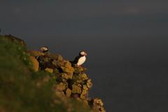 Atlantic Puffin (jameslidster1) Tags: travel bird james iceland wings tour birding seabird sunbird ijsland lidster