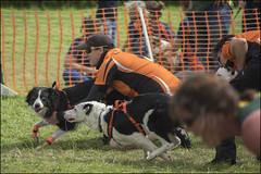 Earls Barton Flyball 33 (Darwinsgift) Tags: dog dogs sport james teams steve tournament event flyball bfa