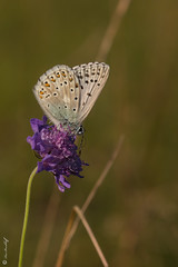 Polyommatus coridon  (Makromaus_Ahrweiler) Tags: polyommatuscoridon synlysandracoridon silbergrnerbluling chalkhillblue lycaenidae blulinge lepidoptera schmetterlinge makro macro naturaufnahme nature