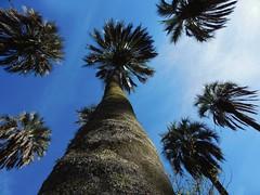 los palmeras (Litswds) Tags: argentina palmeras palmera palm tree cielo sky celeste blue bluelight verde green parque palmar que miras tronco foto flickr caribe america arbol