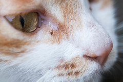 Macro Cats eye, nose close-up (becauz.gao) Tags: pets animalnose oneanimal animal closeup highscalemagnification large colorimage animalhair frontview horizontal extremecloseup animalmouth partof photography colors magnification imagefocustechnique mixedbreedcat snout domesticcat yellowcolor orangecolor selectivefocus feline nopeople macro looking iriseye