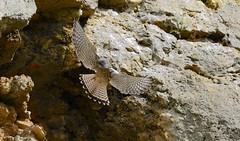 Kestrel landing (ftm599) Tags: durhamwildlifetrust rockface wildlife nature wild action wings flying bif birds bird birdofprey kestrel