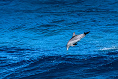 Flying Dolphin (robertdownie) Tags: sea water island blue ocean fly jump seascape dolphin australia deep whale queensland swell fins stradbroke