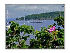 Rose Hips (The Bop) Tags: 2star clouds greyskies boats sailboats schooner island trees harbor ocean shrubs flower rose rosehips greenery frame