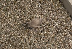 Glaucous-winged Gull (Larus glaucescens) (ekroc101) Tags: birds glaucouswingedgull larusglaucescens bc vancouver coalharbour roccorita