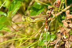 Red gams... (dbifulco) Tags: delawarewatergapnationalpark bluemountainlake grasshopper insects macro nature newjersey nikkor105f28 redlegs redtibia