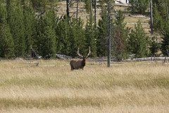 "Bull Elk • <a style=""font-size:0.8em;"" href=""http://www.flickr.com/photos/63501323@N07/28625993376/"" target=""_blank"">View on Flickr</a>"