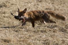 Renard roux Vulpes vulpes (Mathias25) Tags: cheneceybuillon doubs franchecomt renardroux vulpesvulpes