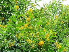 Cestrum aurantiacum --  Yellow Shrub Jessamine 4114 (Tangled Bank) Tags: kanapaha botanical gardens alachua county florida plant flora botany cestrum aurantiacum yellow shrub jessamine 4116 flowers