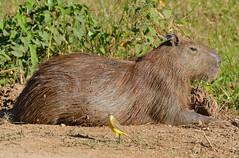 Capybara (Hydrochoerus hydrochaeris) female (berniedup) Tags: pantanal transpantaneira pocon capybara hydrochoerushydrochaeris taxonomy:binomial=hydrochoerushydrochaeris