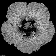 Hibiscus in black and white (Fred Roe) Tags: lca81a4168 nikond810 nikonafsmicronikkor105mmf28 nature flowers hibiscus longwoodgardens macromondays flowersinblackwhite