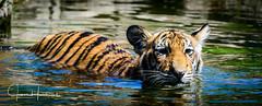 Tiger Swim Panorama (jhambright52) Tags: sumatrantigercub sumatrantiger coth5