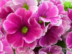 P r i m u l a s ( Graa Vargas ) Tags: primula primulaxpolyantha flower pink graavargas 2016graavargasallrightsreserved appleiphone6s iphone