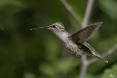 Ruby-throated Hummer_1057 (Kerry. Williams - Amateur) Tags: rubythroatedhummingbird hummingbird birds borealforrest manitoba lakewinnipeg