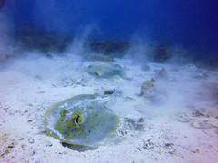 Blue spotted sting ray - Komodo NP (tobfl) Tags: bluespotted sting ray diving komodo