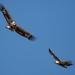 Fish Eagles fighting over a Tilapia