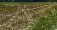 Harvest traces (KF-Photo) Tags: abgeerntet erntespuren fahrlinien feld gegenlicht getreidefeld grasflche kirchentellinsfurt linien spuren stoppelfeld