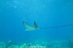 IMG_0059 copy (Aaron Lynton) Tags: lyntonproductions tako honu turtle hawaii maui underwater canon g1x spotted eagle ray octopus sea star