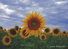 Standing Tall (GracieFlick) Tags: sunflowerfield colorado august2016 stormclouds landscape wideangle pentaxk3 sunflowers closeup outdoor plant flower yellow
