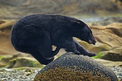 Bear on the run (Blingsister) Tags: americanblackbear blackbear femaleblackbear shewhorules bear largemammal melanieleesonwildlifephotography blingsister canon7dmarkii canonef100400mmf4556lisiiusm14xiii northernvancouverisland