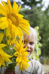 Day #258 outtake (grilljam) Tags: seamus 4yrs sunflowers freshcut fromouryard definitelygrowingwaymorenextsummer summer september2016 endofabeautifulseason