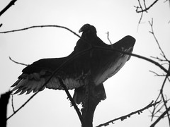 IMG_8906 (kennethkonica) Tags: nature bird canonpowershot summer global random hoosiers marioncounty midwest america usa indiana indianapolis indy colors animaleyes animal outdoor c blackandwhite animalplanet wings turkeyvulture wildlife wild feathers