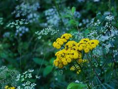 tansy (Ninquelen) Tags: nature flowers tansy poland summer kabaty