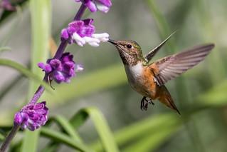 Allen's Hummingbird 7D626522 ( 09/19/16 # 61 )