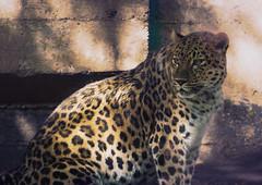 (Light Echoes) Tags: sony a6000 2016 summer september philadelphiazoo zoo philadelphia mammal carnivore feline bigcat leopard amurleopard