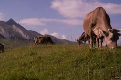 Wanderung Klewenalp 5, Alpen-Idylle (afw   ph[o]to) Tags: beckenried nidwalden schweiz ch hdr cow verschiedenes alps lakelucerne idylle khe switzerland berge swissalps klewenalp schweizeralpen alpen mountain