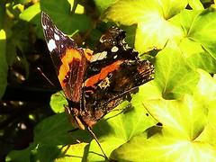 2016 9 30 Milano, farfalla (vanessa atalanta) (mario_ghezzi) Tags: milano lombardia italia marioghezzi nikon coolpix nikoncoolpix p6000 coolpixp6000 nikonp6000 nikoncoolpixp6000 noreflex 2016 farfalla vanessaatalanta farfallavulcano lepidottero ninfalidi