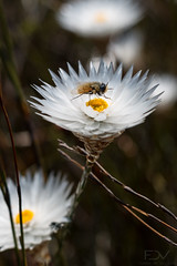 IMG_7141-2 (franzdev) Tags: greyton mcgregor hike southafrica outdoors nature boesmanskloof flower everlasting bug insect closeup macro