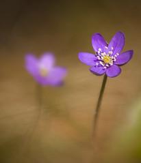 Stack_v3_sp_small (Jakob Arnholtz) Tags: flower denmark anemone blomst danmark bl hepaticanobilis odsherred blanemone arnholtz veddingestrand