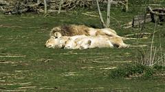 Parc des Flins (K r y s) Tags: park france zoo spring parks 77 parc printemps bigcats zoos parcs flin seineetmarne 2015 zoologicalpark conservationcentre flins parcdesflins breedingcentre protectionoffelines