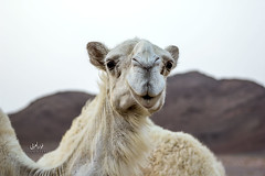 يا جمالك (iconic_lens) Tags: تصميم عرب ت دبي تصوير عدستي تصويري السعودية لقطة فوتو نياق سياحة لايك انستقرام هاشتاق غردبصورة عربفوتو هاشتاقاتانستقرامالعربية المصورونالعرب