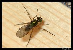 Dolichopus sp. femelle (Dolichopus nitidus ?) (cquintin) Tags: arthropoda diptera dolichopus dolichopodidae nitidus